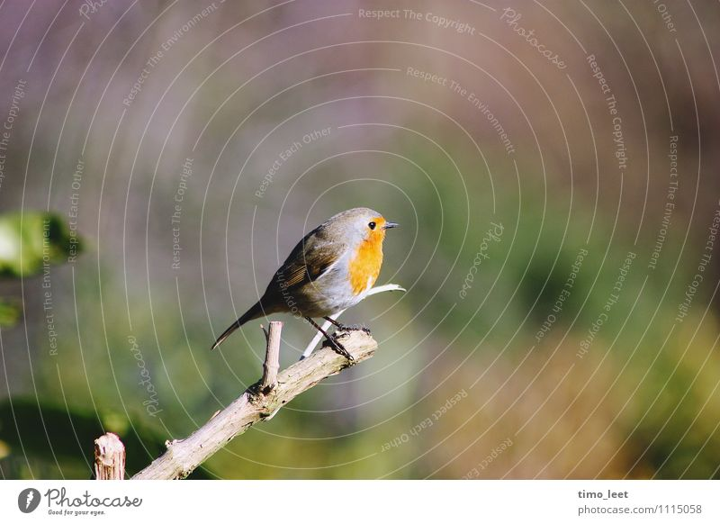 König des Gartens Vogel 1 Tier Macht Stolz erleben Natur Goldkehlchen Ast Farbfoto mehrfarbig Außenaufnahme Tag Sonnenlicht Starke Tiefenschärfe Tierporträt