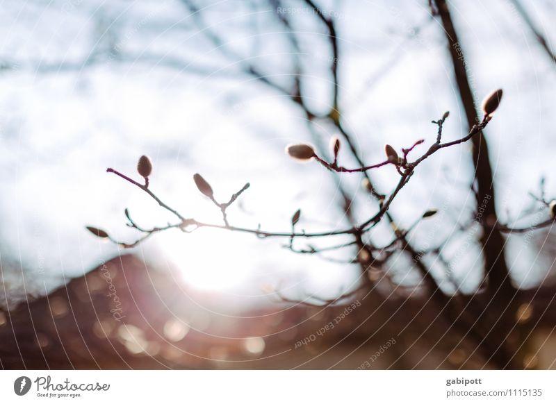 Neubegin Natur Urelemente Sonne Frühling Schönes Wetter Pflanze Baum exotisch Magnolienbaum Magnolienblüte Magnoliengewächse Garten Park Blühend Fröhlichkeit