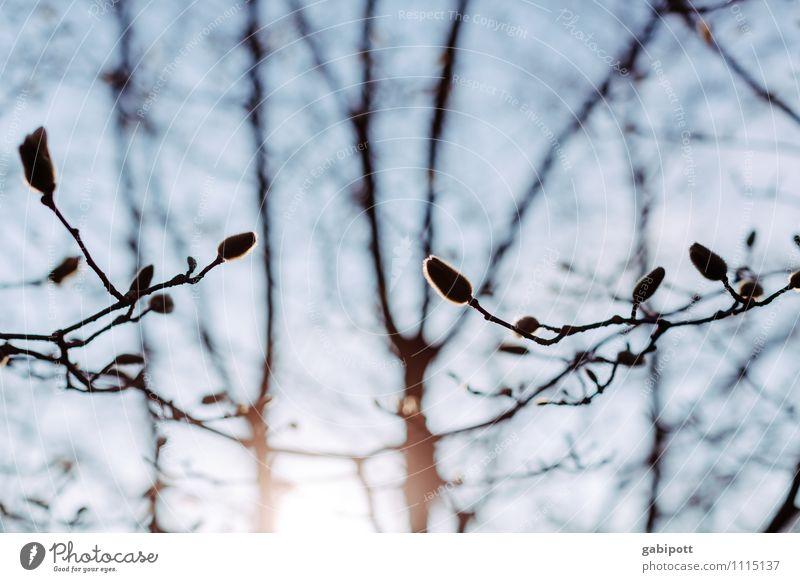 Magnolie vorm Aufwachen Himmel Natur blau Pflanze Sonne Baum Landschaft Umwelt Frühling Blüte Glück frisch Lebensfreude einzigartig Freundlichkeit Wolkenloser Himmel