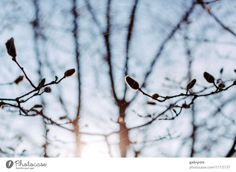 Magnolie vorm Aufwachen Umwelt Natur Landschaft Himmel Wolkenloser Himmel Sonne Frühling Pflanze Baum Blüte Magnolienbaum Magnolienblüte Magnoliengewächse atmen