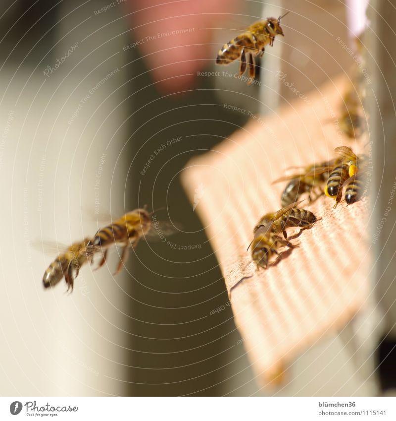 Gleich ist Feierabend! Tier Nutztier Wildtier Biene Honigbiene Insekt Schwarm Bienenstock fliegen tragen ästhetisch klein natürlich Teamwork