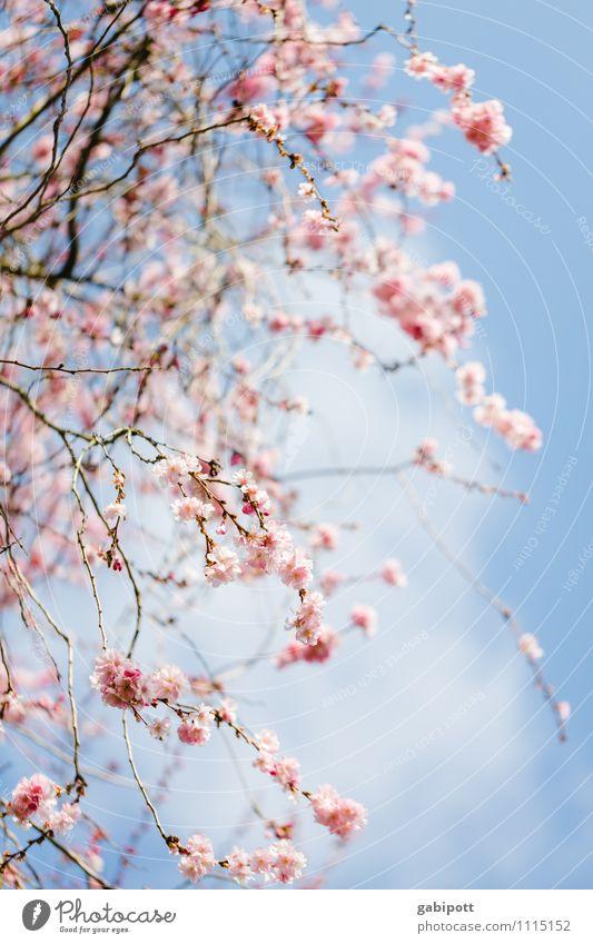 Kirschblüten nach dem Aufwachen Umwelt Natur Landschaft Himmel Sonne Sonnenlicht Frühling Schönes Wetter Pflanze Baum Blüte Nutzpflanze Blühend Freundlichkeit