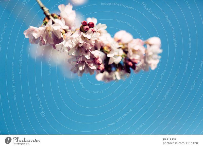 Rosa Wolke Natur Pflanze Himmel Wolkenloser Himmel Frühling Schönes Wetter Blatt Blüte Mandelblüte Kirschblüten Blühend Duft Fröhlichkeit frisch blau rosa Glück