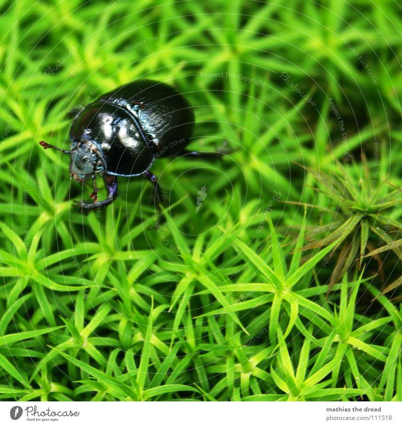 ... Karl Der Käfer ... grün Einsamkeit schwarz klein Lebewesen Insekt Käfer krabbeln Ägypten gepanzert Afrika Bodendecker