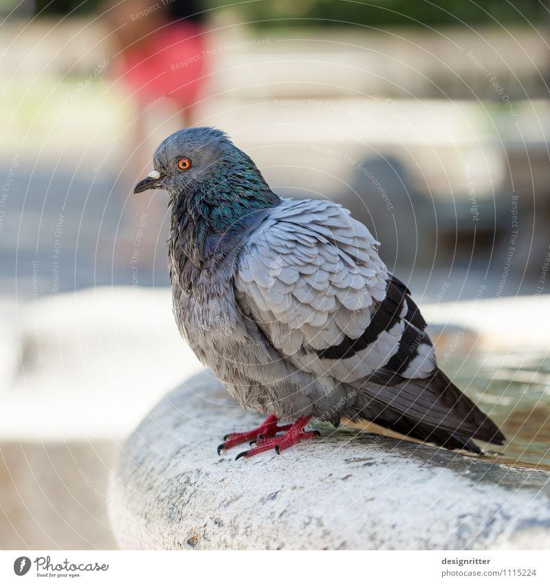 Vogelperspektive Tier Auge Wand Mauer Garten Schwimmen & Baden Park wild dreckig Feder Flügel Brunnen Krankheit Aggression Taube