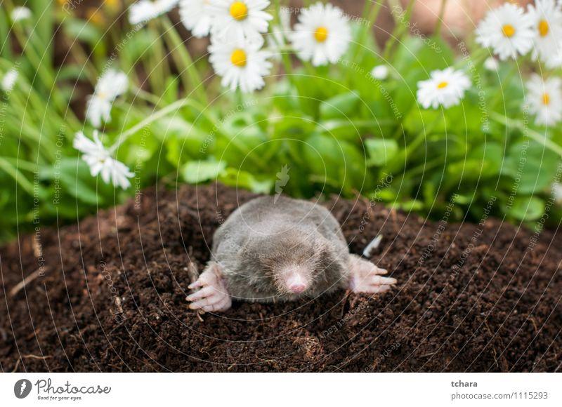 Maulwurf aus dem Loch Glück Gesicht Garten Natur Tier Erde Blume Gras Blüte Pelzmantel Lächeln lachen klein wild braun schwarz Leberfleck Maulwurfshügel