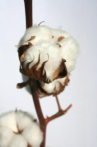 Pop up Natur Pflanze weiß Blüte natürlich braun Wachstum weich Sauberkeit Zweig Ernte Ackerbau nachhaltig ökologisch Samen reif