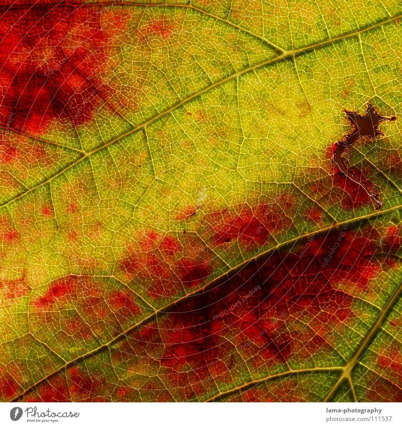 Herbstlicher Wein Leben Erholung ruhig Natur Blatt braun gelb grün rot Farbe Vergänglichkeit Arterien Membran Photosynthese zerfressen Herbstlaub Herbstfärbung