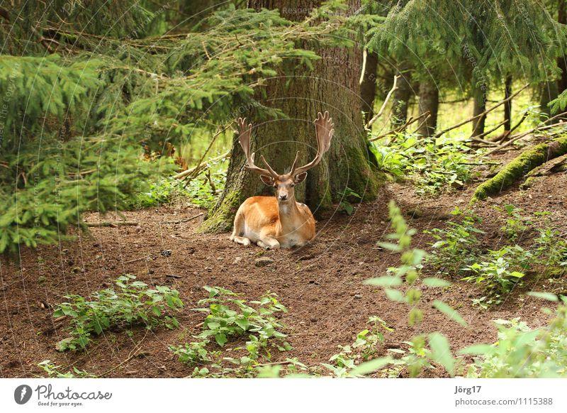 Hirsch Tier Wildtier 1 liegen muskulös natürlich stark wild braun Zufriedenheit Kraft ruhig bequem elegant Idylle Natur Rothirsch Hirsch im Wald Hirsche