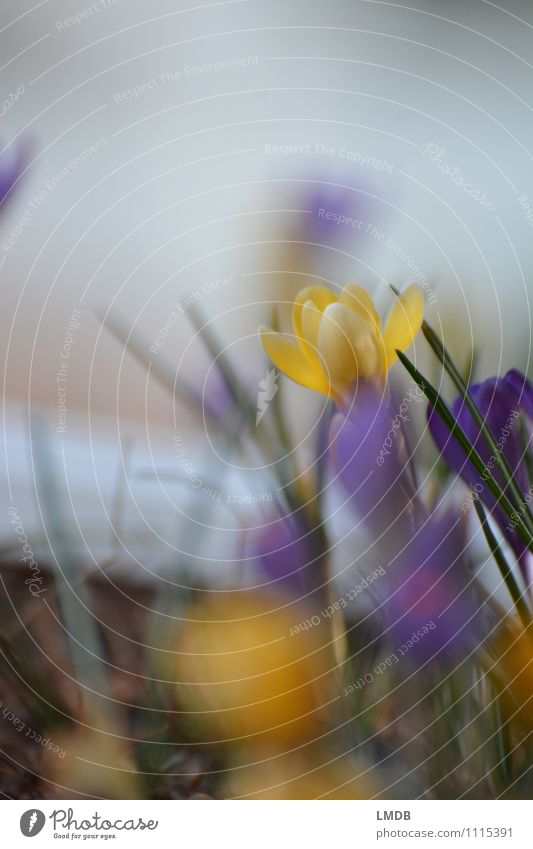 KROKant... 2 Natur Pflanze Blume Umwelt gelb Frühling Blüte orange Energie Beginn Blühend Ostern zart violett Blütenknospen Frühlingsgefühle