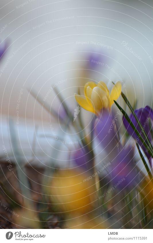 KROKant... 2 Natur Pflanze gelb Umwelt Blume mehrfarbig orange violett Krokusse Frühlingsblume Frühlingsblumenbeet Frühblüher Knollengewächse Blumenbeet Blühend