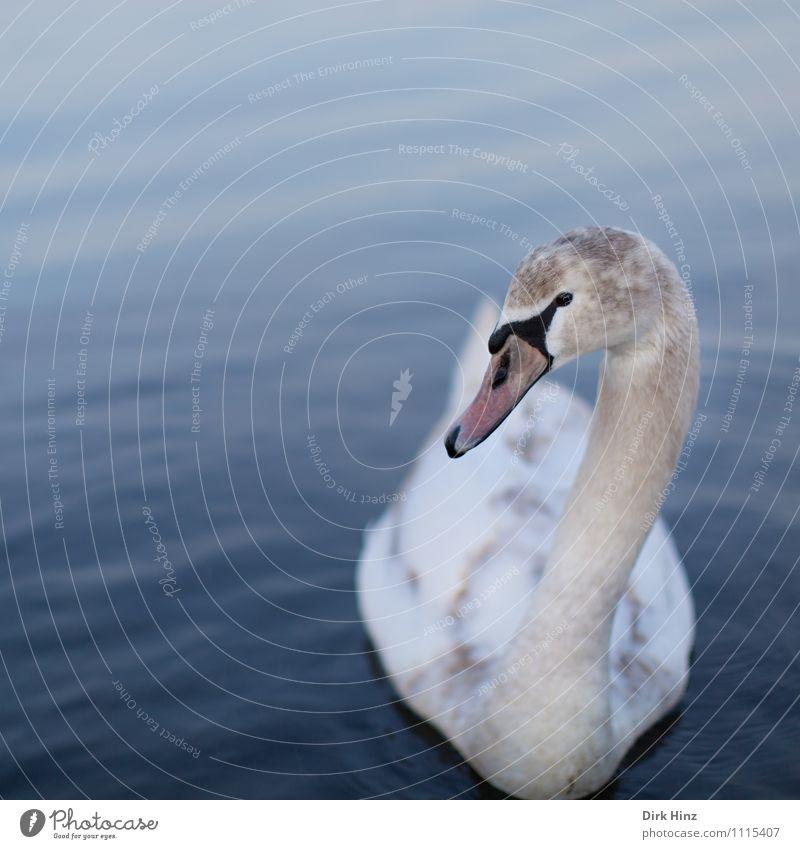 Mein lieber Schwan II blau schön weiß Tier Tierjunges Schwimmen & Baden Vogel rosa Wildtier Feder Kommunizieren weich Neugier Im Wasser treiben nah Vertrauen