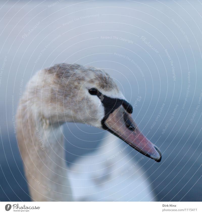 Mein lieber Schwan IX Tier Wildtier Tiergesicht 1 Tierjunges blau braun grau rosa weiß Vogel Neugier weich Wassertier nah Vertrauen Respekt tierisch Tierschutz
