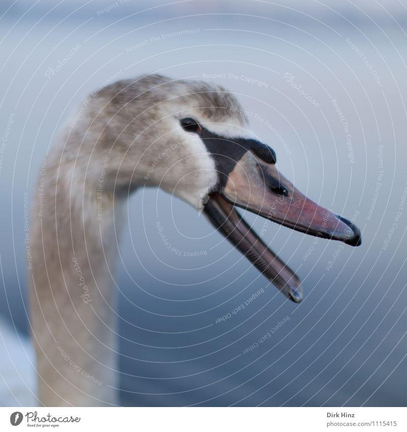Mein lieber Schwan IV blau weiß Tier Tierjunges Auge sprechen grau Schwimmen & Baden Vogel Wildtier Feder Flügel weich Neugier Im Wasser treiben Vertrauen