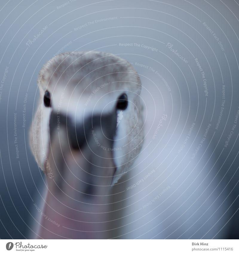 Mein lieber Schwan V Tier Wildtier Tiergesicht 1 Tierjunges grau rosa weiß Stimmung Mut Neugier Interesse Überraschung erleben Erwartung Gefühle Vogel weich
