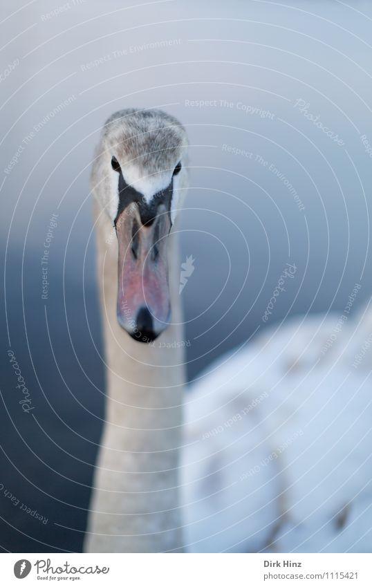 Mein lieber Schwan III Tier Wildtier Vogel Tiergesicht Flügel 1 Tierjunges blau grau rosa weiß Neugier weich Wassertier nah Vertrauen Respekt tierisch