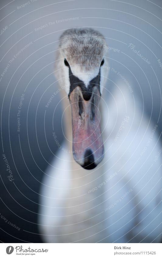 Mein lieber Schwan VII blau schön weiß Tier Tierjunges grau Schwimmen & Baden braun Vogel rosa Wildtier Feder Flügel Kommunizieren weich Neugier