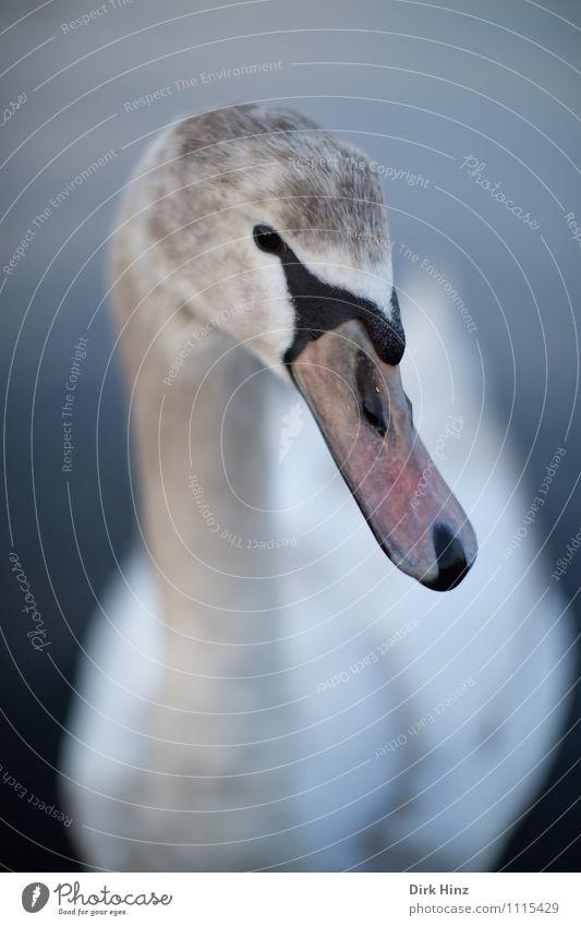 Mein lieber Schwan VI Tier Wildtier Tiergesicht 1 grau rosa weiß Flügel Tierjunges Neugier weich Wassertier nah Vertrauen Respekt tierisch Tierschutz anmutend