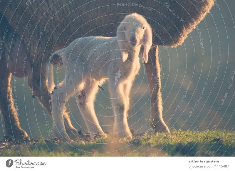 Weißes Lamm Sommer Natur Sonne Frühling Schönes Wetter Gras Wiese Tier Nutztier Fell Schaf 2 stehen authentisch kuschlig weich Neugier Freiheit Leben Farbfoto