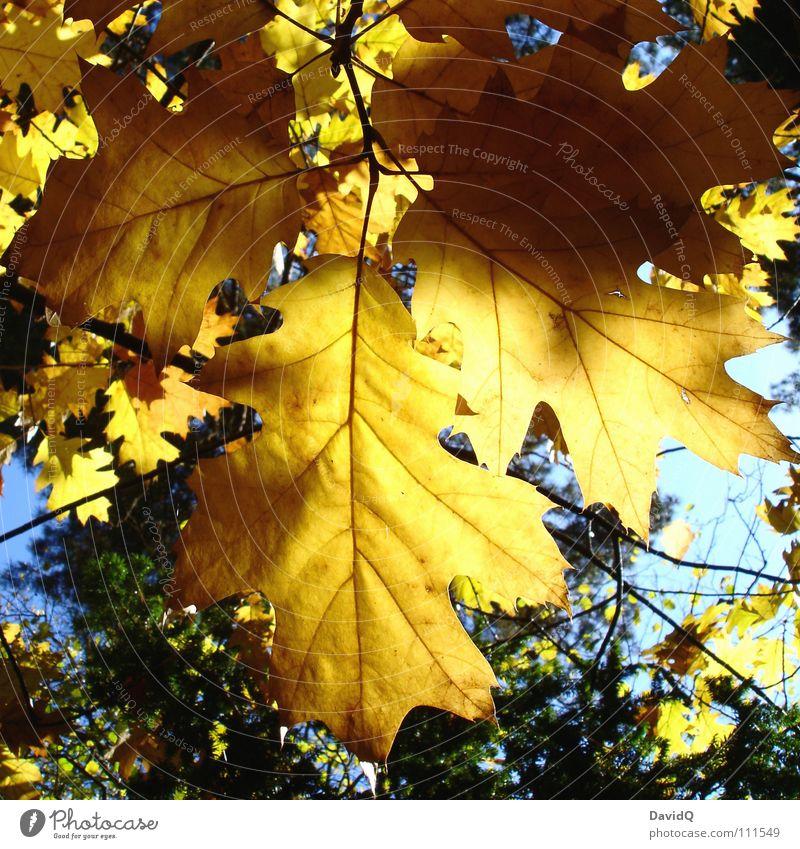 goldener herbst Baum Sonne Blatt Herbst Beleuchtung gold Ast Vergänglichkeit hängen Eiche herbstlich Eicheln