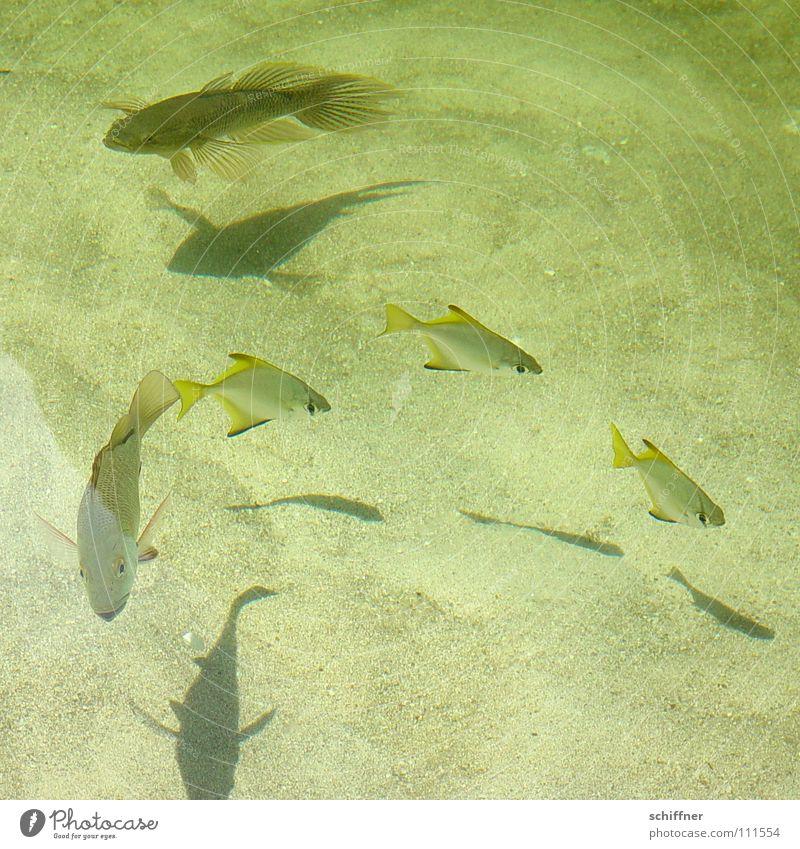 Unterwasserballett Schweben Meerwasser See Teich Nahrungssuche Fisch Wasser Süßwasser Schatten Sand Schwimmhilfe Futterjagd Schwimmen & Baden