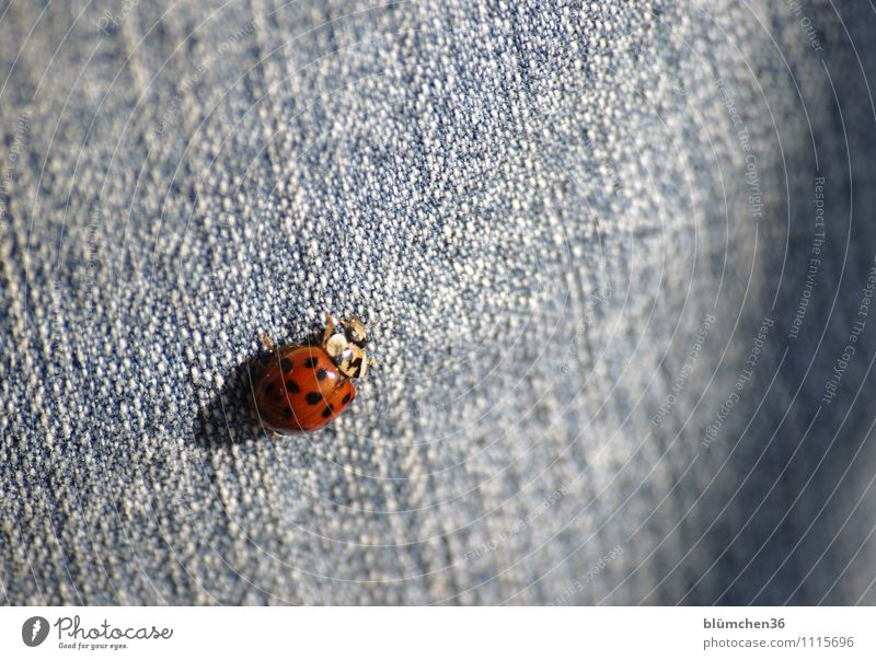 Das Glück ist überall!!! Tier Nutztier Käfer Flügel Marienkäfer krabbeln laufen sitzen Freundlichkeit schön klein natürlich rund Punkt rot Jeanshose