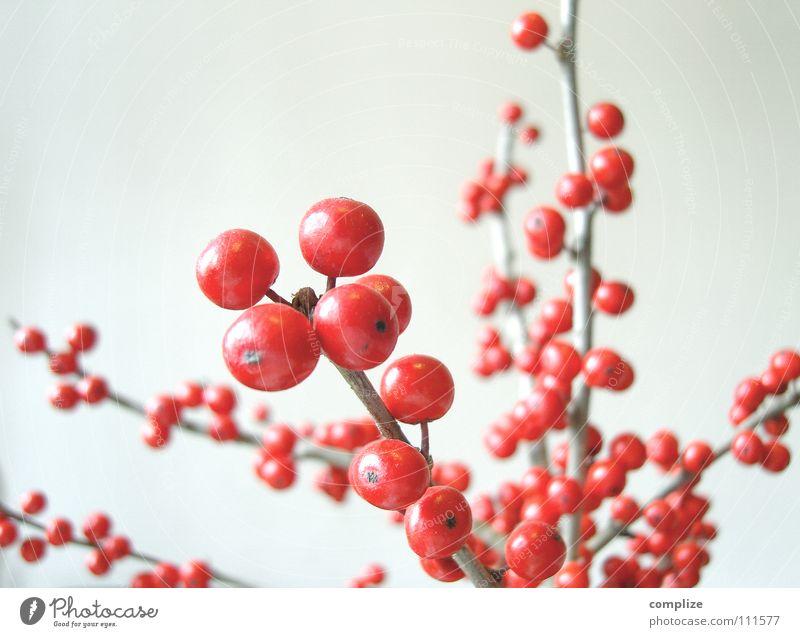 Die Roten Beeren schön Pflanze rot Blume Winter Herbst Innenarchitektur Stil Kunst Wohnung Frucht Häusliches Leben Sträucher Dekoration & Verzierung Perspektive rund