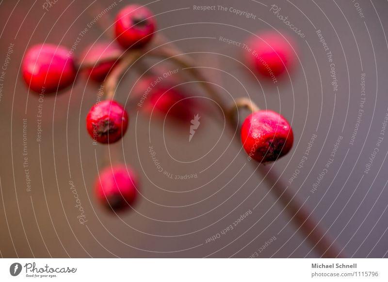Weißdorn: Früchte Natur Pflanze schön rot Umwelt natürlich Frucht rund Begierde Weissdorn
