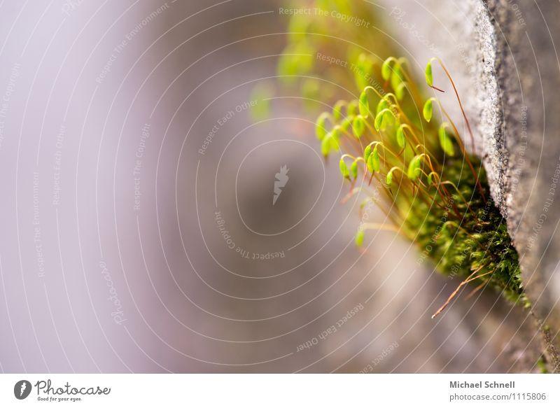 Moos an Mauer Natur Pflanze Umwelt natürlich Gesundheit klein Zufriedenheit frisch niedlich zart neu Mut positiv saftig Willensstärke
