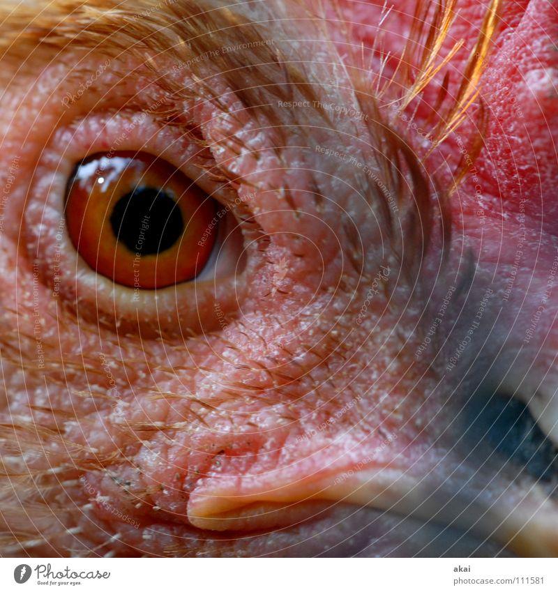 Casablanca-schau mir in die Augen, Kleines rot Tier Vogel Wachsamkeit Blick Haushuhn Pupille Makroaufnahme Gesichtsausschnitt Vogelauge