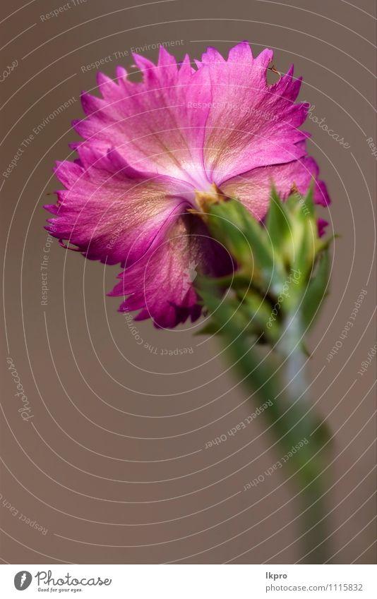 die Rückseite des wilden Veilchens Natur Blume Wald retro braun grün rosa rot weiß lkpro Gartennelke Wald-Weidenröschen Parviflorum hirstum Sylvestris