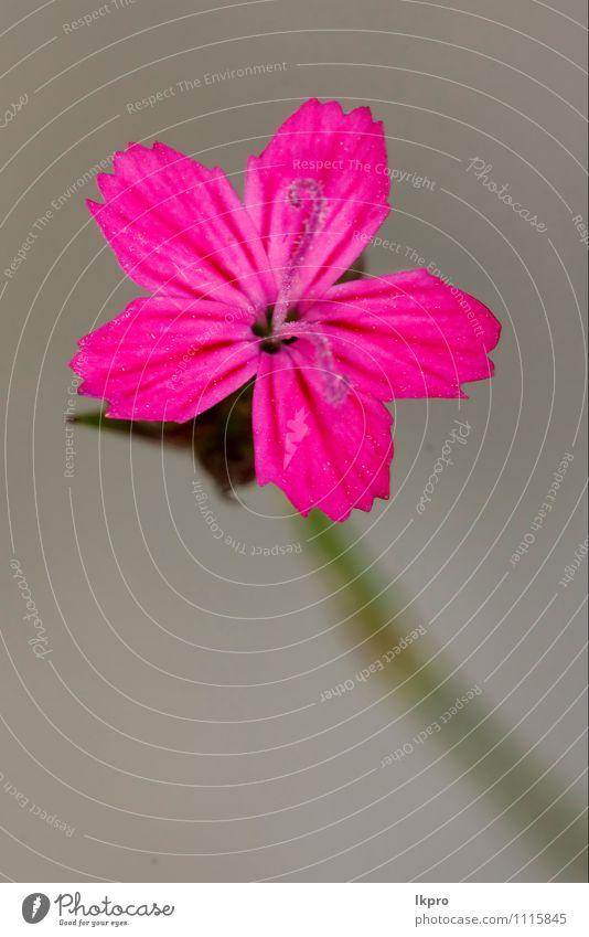 wilde violette Nelke Natur Blume Wald braun grün rosa rot lkpro Gartennelke Wald-Weidenröschen Parviflorum hirstum Sylvestris Nelke Garofano Garofanino