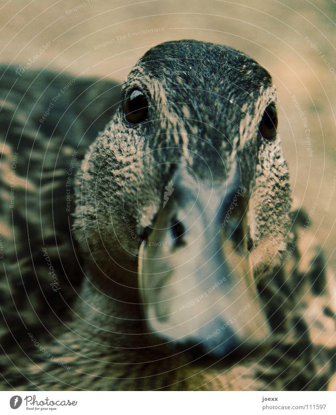 Erwartungshaltung Auge Vogel süß Neugier nah Vertrauen Interesse Ente Schnabel füttern Tier Entenvögel Quaken Stockente