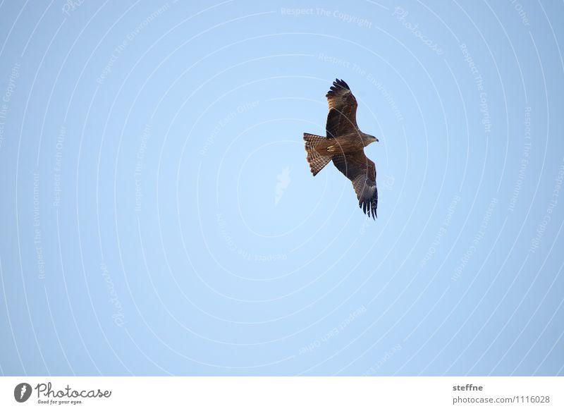 Tierisch gut: Schweizer Bussard Natur Himmel Wolkenloser Himmel Schönes Wetter Vogel fliegen Greifvogel Farbfoto Außenaufnahme Menschenleer Textfreiraum links