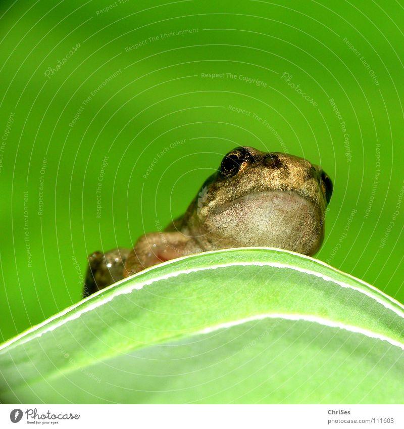 gerade Frosch geworden 02 Wasser grün Auge Tier springen Frühling braun fliegen Teich hüpfen Gewässer Lurch Nordwalde Ei Kröte