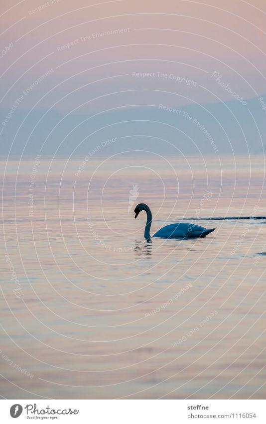 Tierisch gut: Schwanensee Natur Sonnenaufgang Sonnenuntergang Schönes Wetter Berge u. Gebirge See Wildtier Vogel 1 rosa Genfer See Romantik Liebe Kitsch