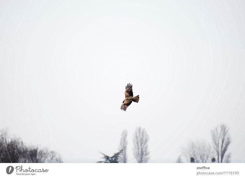 Tierisch gut: Überwachung aus der Luft Frühling Baum Vogel 1 beobachten Jagd überwachen Greifvogel Bussard Jagdrevier Flügel Farbfoto Außenaufnahme