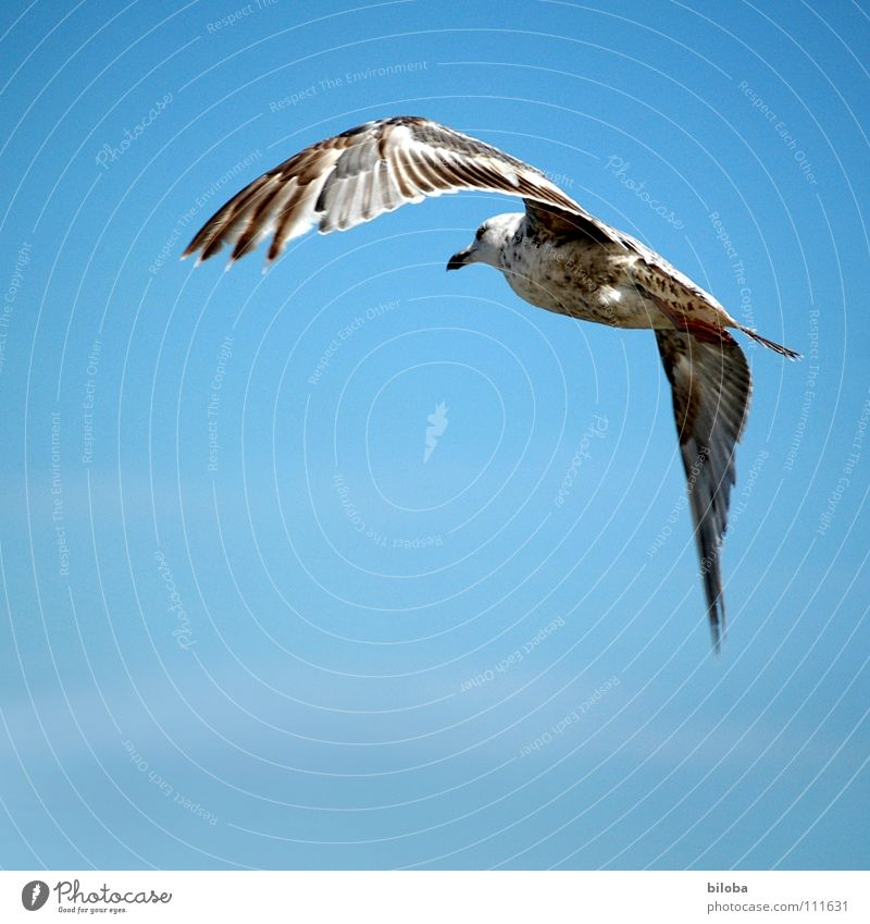 Rechtskurve Möwe weiß rechts Kurve schwarz braun Meeresvogel Vogel Tier Federvieh abgehoben Segeln gleiten Unendlichkeit schön Luft stahlblau tief Außenaufnahme