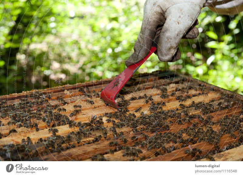 Imker schabt Honig aus einer Bienenwabe Natur grün Sommer Blatt Garten Lebensmittel Insekt Bauernhof ökologisch Wachs Bienenstock Imkerei Bienenkorb