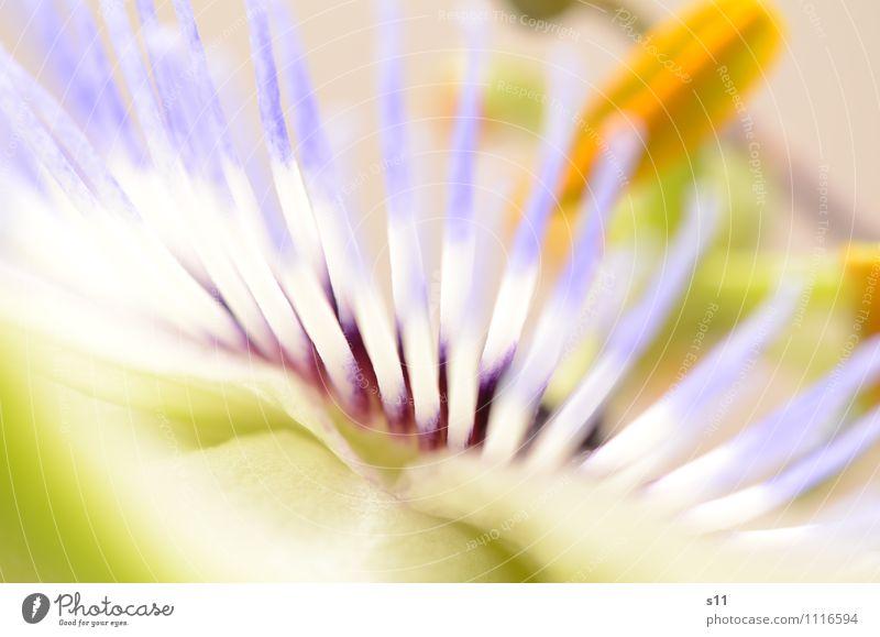 Passiflora Natur blau Pflanze schön grün weiß Sommer gelb Blüte natürlich Garten leuchten ästhetisch Blühend Kitsch dünn