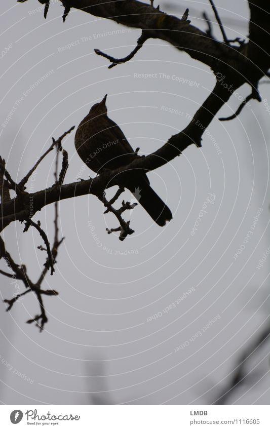 Vogel-Silhouette 3 Tier dunkel schwarz Traurigkeit grau Regen Ast Neugier Sorge Interesse trüb Mitgefühl trösten Amsel