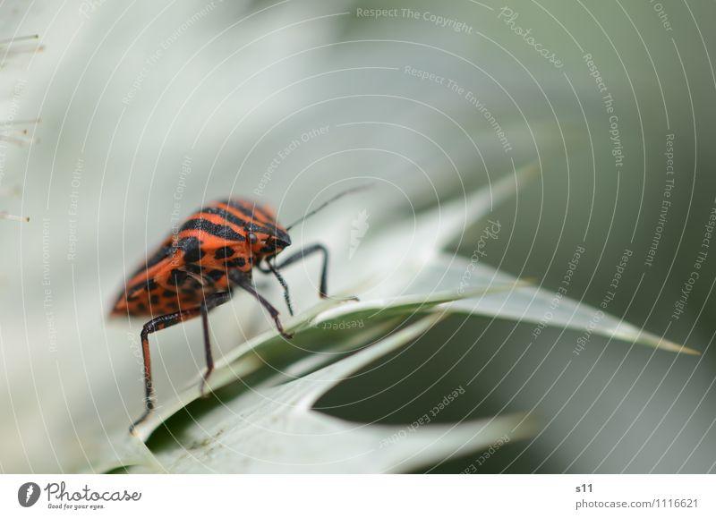 Feuerwanze Natur Pflanze grün Sommer Blatt Tier schwarz Garten Stimmung Beine orange elegant Lebensfreude Warmherzigkeit Neugier nah