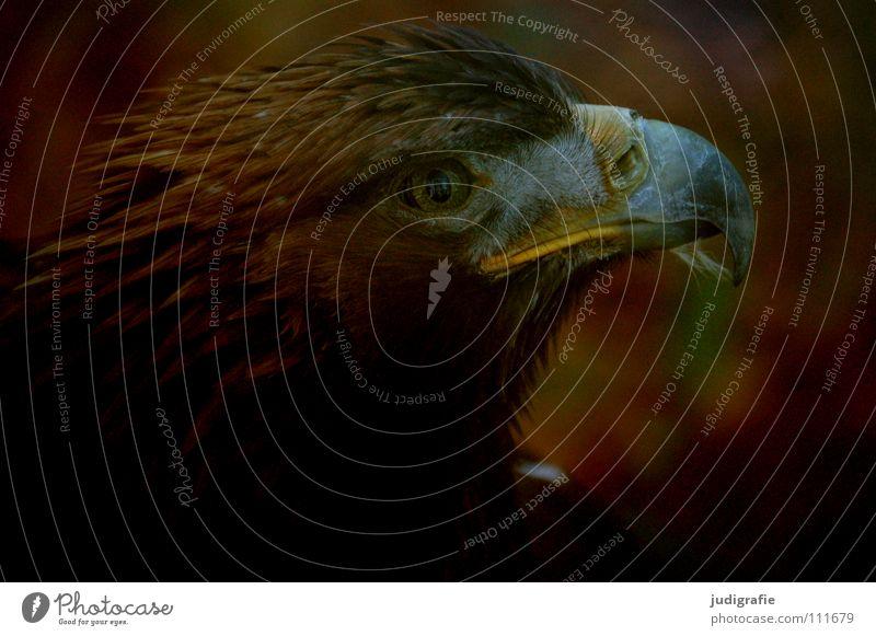 Adler schön Tier Farbe Vogel Feder Schnabel Stolz Greifvogel Ornithologie