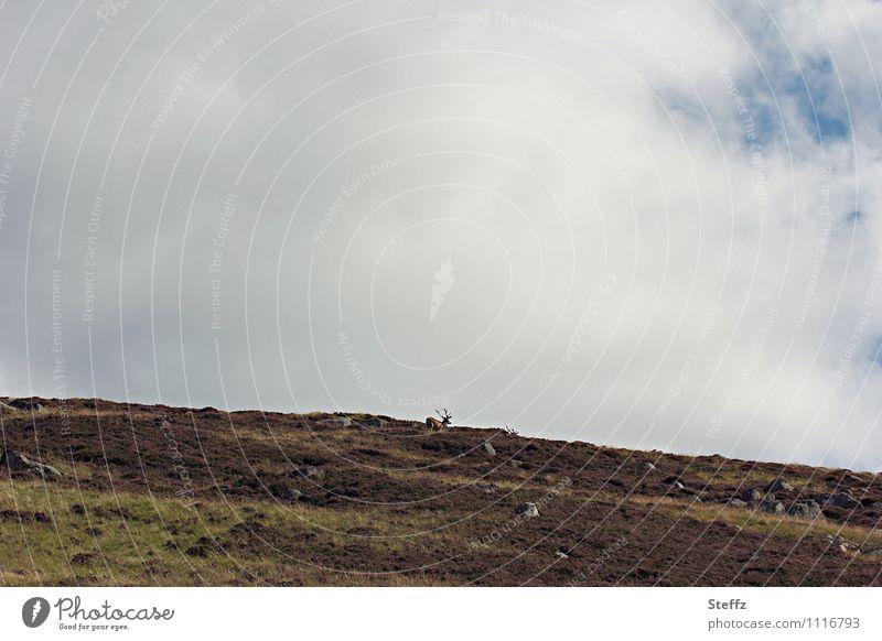 free over the Hills Natur Landschaft ruhig Wolken Tier Freiheit wild Wildtier frei Hügel Schottland Hirsche Großbritannien Herbstbeginn nordisch karg
