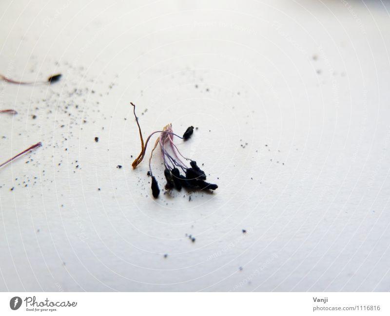 Was bleibt..... Natur Pflanze Frühling Blume Grünpflanze alt schwarz Ende Anemonen Pollen Vergänglichkeit Verfall Farbfoto Innenaufnahme Nahaufnahme
