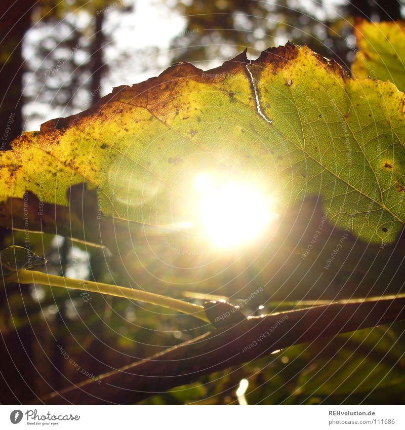 herbstlich(t) Herbst Blatt Licht Wald Beleuchtung blenden welk kalt mehrfarbig braun fallen Rascheln Silhouette Unschärfe Freude Loch herbstsonne Sonne