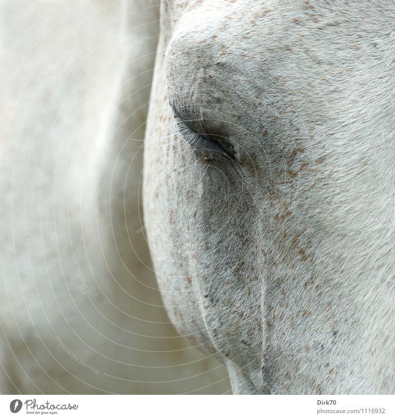 Müder Schimmel | Quälgeist weiß Einsamkeit Tier schwarz Traurigkeit Auge grau braun träumen Fliege schlafen Landwirtschaft Pferd Fell Konzentration Haustier