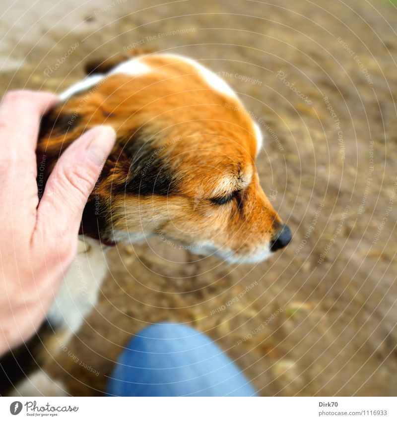 Braver Hund! Mensch maskulin Hand 1 30-45 Jahre Erwachsene Jeanshose Tier Haustier Terrier Jack-Russell-Terrier Kopf Sand Erholung genießen sitzen niedlich blau