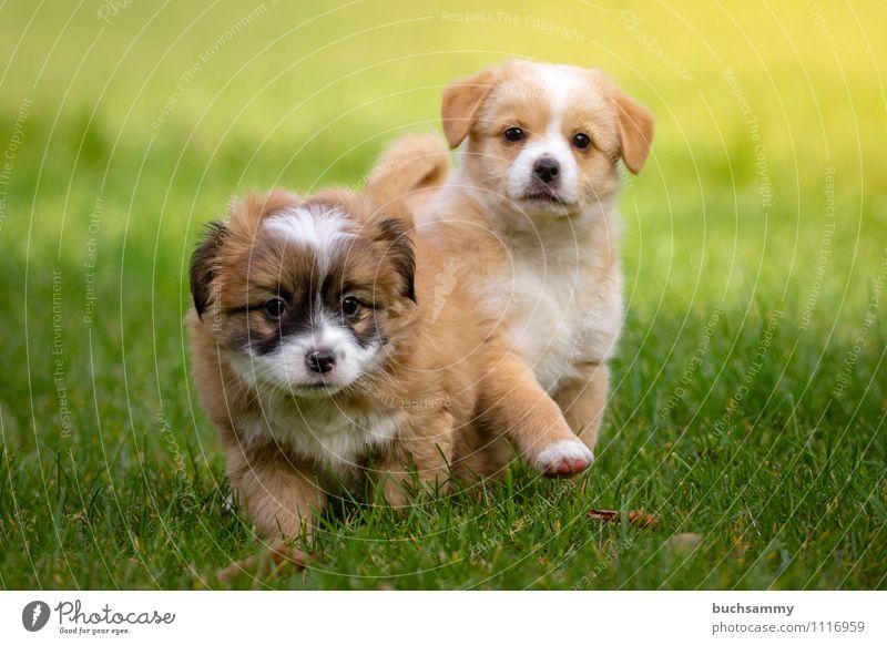Neugierige Welpen Hund weiß Tier schwarz Tierjunges klein braun Tiergruppe Haustier Säugetier Welpe Haushund grasgrün tollpatschig
