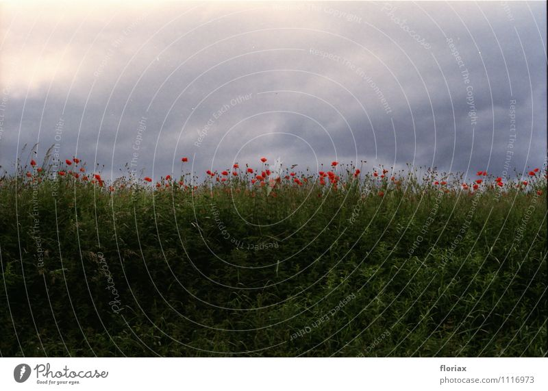klatschmohn Umwelt Natur Landschaft Pflanze Frühling Klima Klimawandel Blume Gras Wildpflanze Blühend Wachstum ästhetisch bedrohlich dunkel grau grün rot
